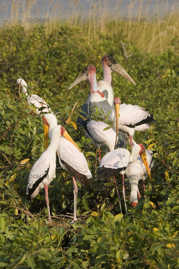 Yellow-billed Stork or Yellowbilled Stork, Africa