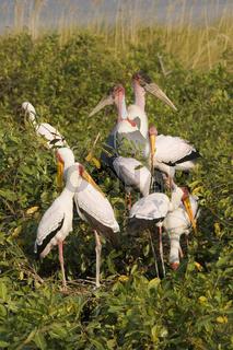 Nimmersatt Storch, Südafrika