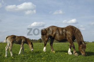 Sueddeutsche Kaltblutpferde, Stute mit Fohlen, Equus ferus caballus, South German Draught Horse, mare with foal