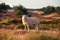 sheep on hill in summer