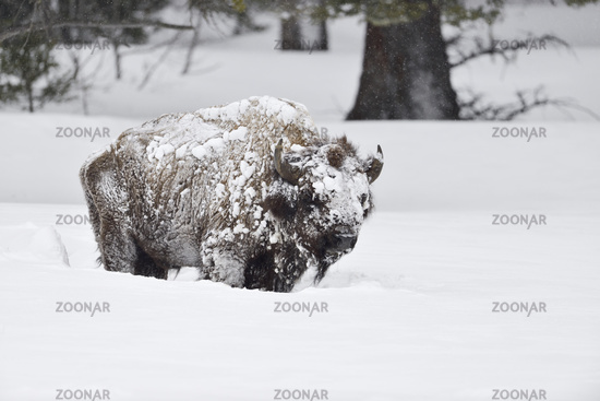 covered with ice and snow... American Bison *Bison bison*