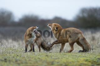 drohend... Rotfüchse *Vulpes vulpes*
