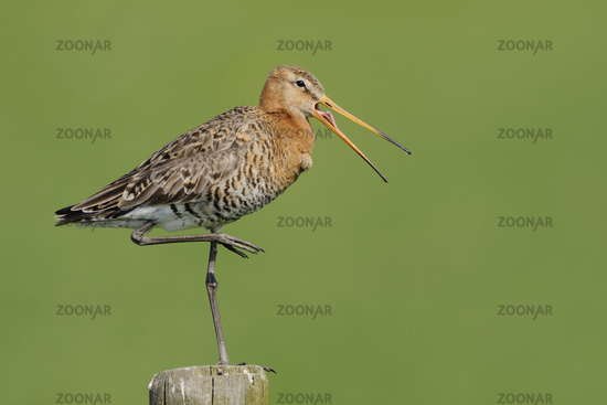 Black-tailed Godwit * Limosa limosa *