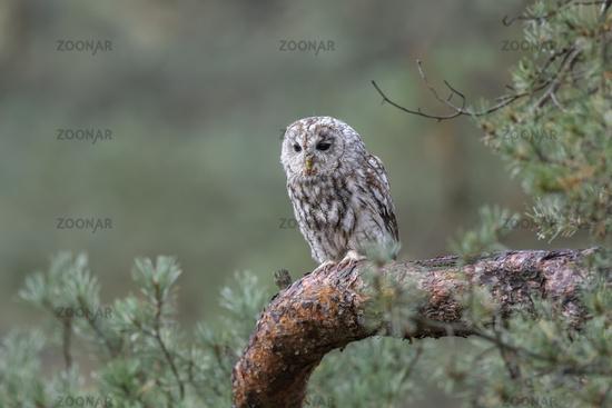 in woodlands... Tawny Owl *Strix aluco*