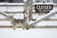 closed for winter season... Coyote *Canis latrans*