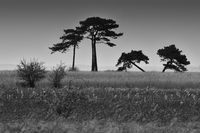 Crooked pine trees in a field