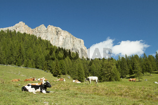 Cows in transhumance