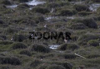 Kampfläufer, Insel Hiiumaa, Heltermaa, Estland