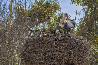 White Storks (Ciconia ciconia) In Cellah Fortress Rabat Morocco