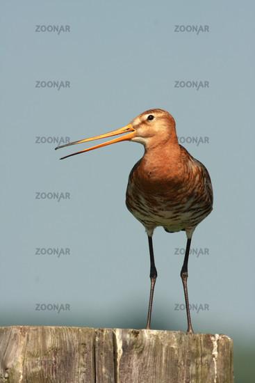 Uferschnepfe in Holland, Limosa limosa, Black-tailed godwit, Netherlands