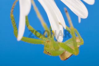 Grüne Krabbenspinne (Diaea dorsata) - Green Crab Spider (Diaea dorsata)