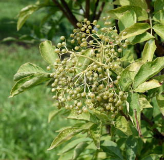 Holunderbeeren; Gelbe, Sambucus; nigra; Holunder