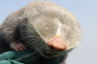 close up of lesser mole rat head ( Spalax leucodon )