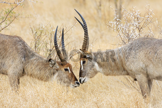 Wasserboecke (Kobus ellipsiprymnus), Krueger-Nationalpark, Suedafrika, Afrika, Waterbucks, Kruger National Park, South Africa