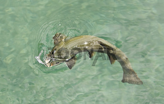 Jagender Saibling hunting fingerling
