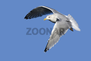 Silbermoewe, (Larus argentatus), Herring Gull
