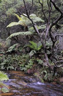 wasserfall mit baumfarnen ( Pyrrosia rupestris) im gemäßigten regenwald des blue mountains nationalparks, australien