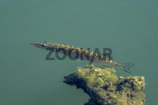 Hecht, der Groesste bekannt gewordene Fisch war 152cm lang und wog 28kg