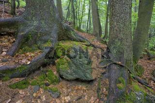Wurzelsystem der Bergfichte auf felsigem Untergrund, Picea abies, Root system, Spruce on bedrock