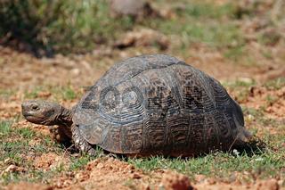 Leopardenschildkröte, Pantherschildkröte, Südafrika, Stigmochelys pardalis, leopard tortoise, south africa