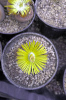 Living stone (Lithops) with yellow blossom