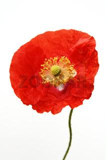 Mohnblüte,  Poppy