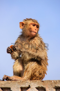 Wet Rhesus macaque sitting on a stone wall in Jaipur, Rajasthan, India
