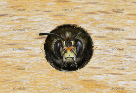 Portrait of male Hairy-Footed Flower Bee (Anthophora plumipes)