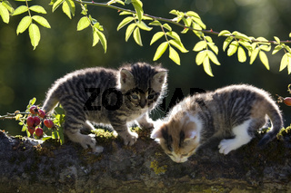 zwei Kaetzchen auf Ast im Gegenlicht, two kitten on branch in the back-light