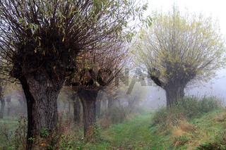 Kopfweiden im Nebel in Sachsen-Anhalt