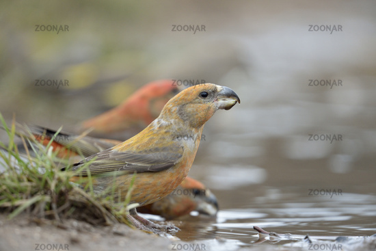 at the puddle... Parrot Crossbills *Loxia pytyopsittacus*