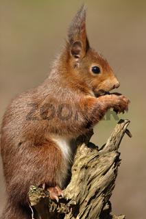 Eichhoernchen am Futterplatz, Sciurus vulgaris, Red squirrel, feeding-point