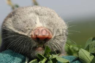 macro portrait of lesser mole rat ( Spalax leucodon )