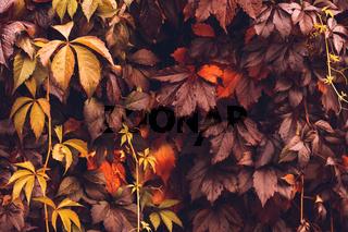 Autumn Virginia Creeper