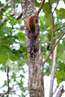 Rotschwanzhörnchen / Costa Rica / Cahuita