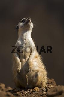 Erdmaennchen, Manguste (Suricata suricatta), Suedafrika, Afrika, Manguste Meerkat, Pilanesberg Game Reserve, South Africa