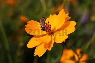 Honigbiene auf orange Blüte
