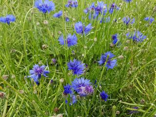 Kornblume; Centaurea; cyanus