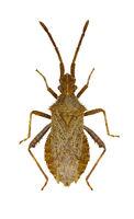 Leaf Footed Bug Coriomeris  -  Coriomeris hirticornis (Fabricius, 1794)