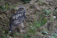 exploring its surrounding... Eurasian Eagle Owl *Bubo bubo*