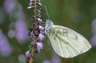 Rapsweissling ist eine weitverbreitete und haeufige Schmetterlingsart in Europa und Asien  -  (Gruenader-Weissling - Foto Maennchen auf Besenheide) / Pieris napi