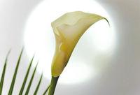 Blossom of a white calla lily (Zantedeschia)