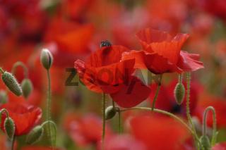 Klatschmohn (Papaver rhoeas) Common Poppy