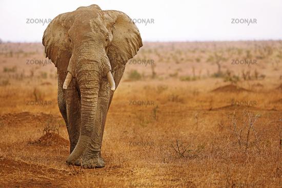huge african elephant south africa, wildlife