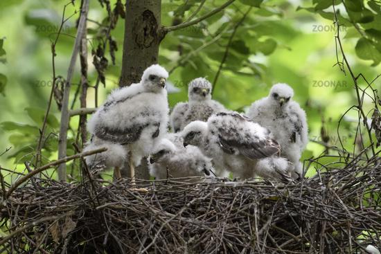 offspring... Sparrowhawk *Accipiter nisus*