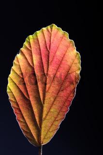 Blatt der Zaubernuss (Hamamelis spec.), herbstlich verfärbt