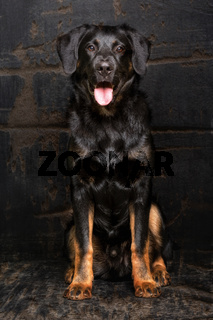 Appenzell sheepdog mixed breed