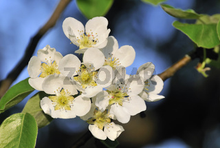 Blüten Apfelbaum - Blossoms Apple tree