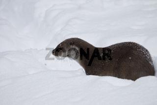 Fischotter, Lutra lutra, Eurasian otter