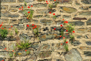 Klatschmohn vor Mauer